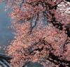 꽃망울 터트린 백양사 고불매