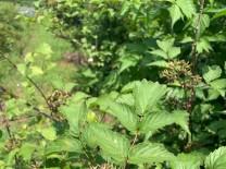 광양시, 백운산 토종 복분자 수확