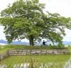화순군, 도곡면 월곡리 '사랑나무'